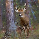 Who goes there? - White-tailed deer Buck by Jim Cumming