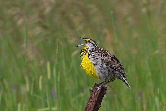 An Eastern Song - Eastern Meadowlark by Jim Cumming