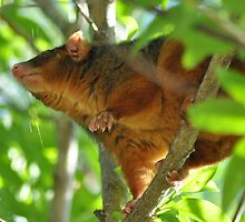 Ringtail Possum by mbutwell