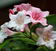 White pink flowers. by Dipali S