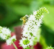 Bee on a Mint Flower (2) by Aimee Miller