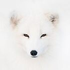 Polar Fox by hanspeters