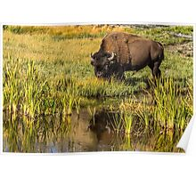 BULL BISON IN AUTUMN Poster