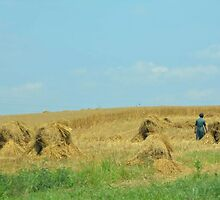 Amish Oat Shocks by 1957mama