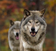 Double Trouble - Timber Wolves Sticker