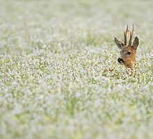 Roe Deer in a field of Buckwheat by Natuuraandemuur