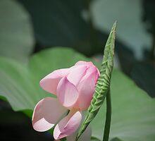 Pastels - Lotus bud by Carole Anne Ferris