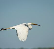 Great Egret With Intentions by Thomas Young