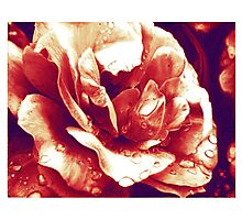 Red rose at the morning with water drops Photographic Print