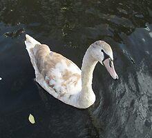 beauty swan by PVagberg