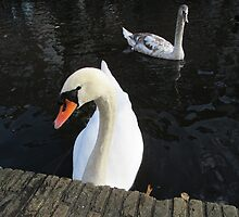 beauty swan 2 by PVagberg