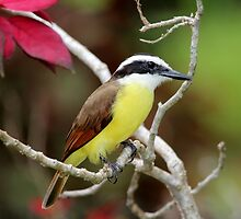 Great Kiskadee by hummingbirds