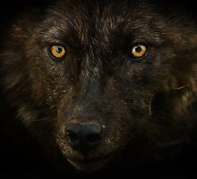 Midnights Gaze - Black Wolf Wild Animal Wildlife by Val  Brackenridge