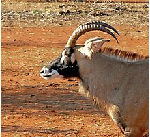 Roan Antelope Photographic Print