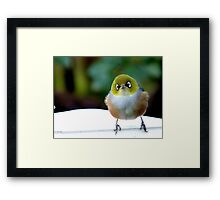 Little boy lost! - Silvereye - Wax Eye - New Zealand Framed Print
