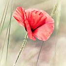 Wild Poppy  by Vicki Field