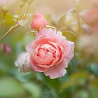 Rosa Strawberry Hill by Jacky Parker