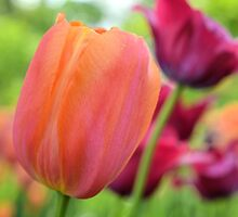Orange and Red Violet Tulips by Kathleen Brant