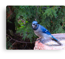 Blue Jays and Peanuts, in the garden and the game! Canvas Print