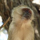 Vervet Monkey by Tessa Manning