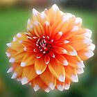 White Tipped Orange Dahlia by BlueMoonRose