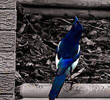 Mr Magpie by mhphotographyuk