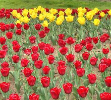 Lots of Red Tulips 2 by AnnArtshock