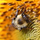 Chipmunk's Peredovik Sunflower by JMcCombie