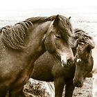Icelandic Horses 2 by Quattrophoto