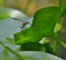 Dragonfly III (Ol' Blue Eyes) by Scott Mitchell