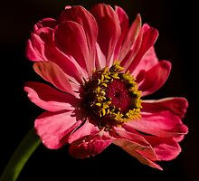Pink Zinnia  by Nicole  Markmann Nelson