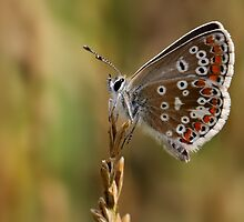 Brown Argus Butterfly by IJPhotography