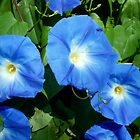 Blue Morning Glory by Sandra  Aguirre