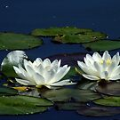 White Water Lilies by Gabrielle  Lees