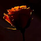 Rose in the dark  by Nicole  Markmann Nelson