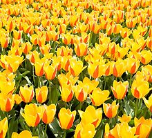 yellow and red Stresa tulips abloom  by Arletta Cwalina