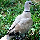 young COLLARED DOVE by Ruth Lambert