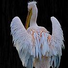 Pelican by Sandra Caven
