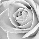 Beautiful Rose Black and White by Edward Fielding