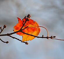 Red Maple Leaf | Acer pseudoplatanus - Quogue, New York by © Sophie W. Smith