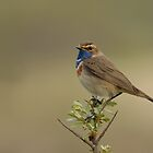 Bluethroat (Luscinia svecica) by Peter Wiggerman
