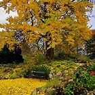 Gingko Biloba in it's Autumn glory by © Kira Bodensted