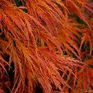 Flaming Japanese Maple 1 by Honario