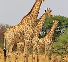 Giraffe Symmetry - African Wildlife Background by LivingWild