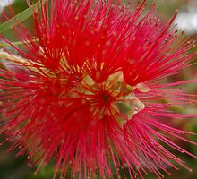 Bottle Brush by enigma