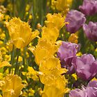 Yellow And Purple Tulips by Shutterbug