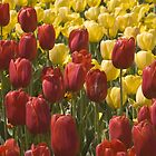 Red And Yellow Tulips by Shutterbug