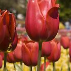 Red Tulips by Shutterbug