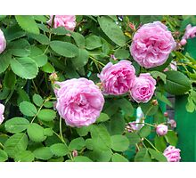 Pink Roses in the Garden 2 Photographic Print
