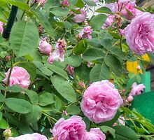 Pink Roses in the Garden 6 by AnnArtshock